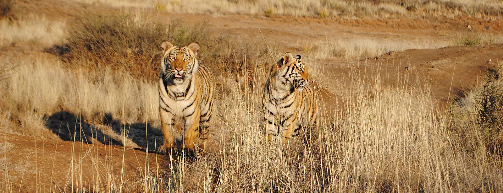 пепельный блондин, картинки пустыня и тигр когда изобрел